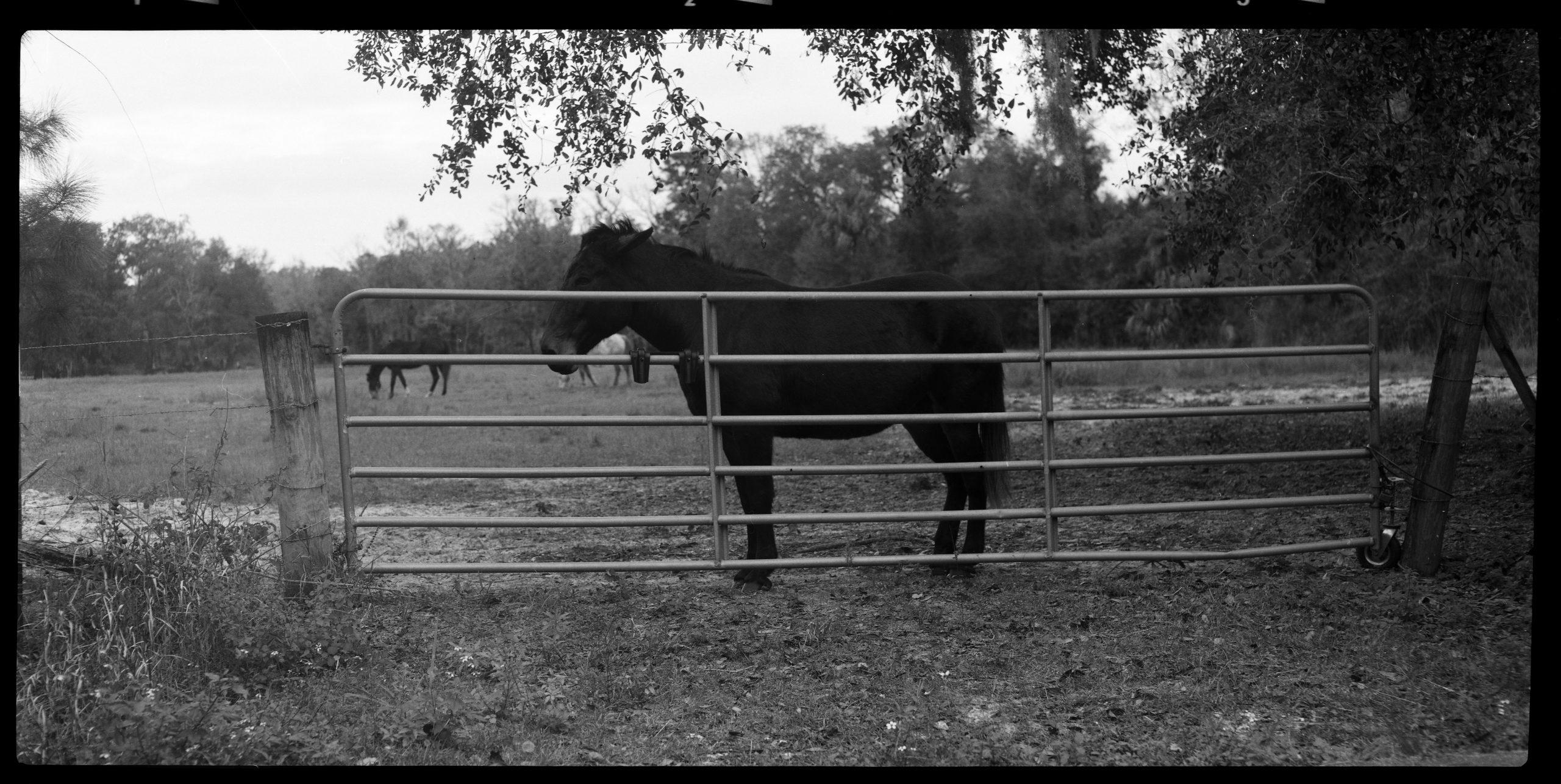 Mule in pasture